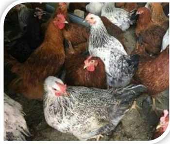 فروش نیمچه مرغ بومی 4 ماهه اصلاح شده