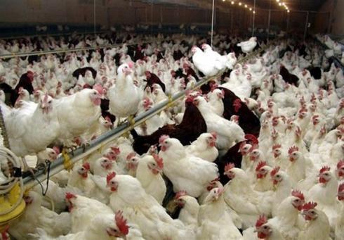 فروش جوجه یک روزه مرغ گوشتی هوبارد -طیور
