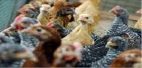 فروش مرغ بومی اصلاح نژاد شده ، فروش دان مرغ - طیور