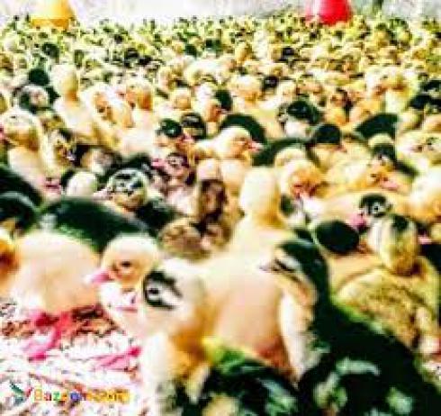 فروش اردک گوشتی/فروش جوجه اردک یک روزه 20 روزه - طیور