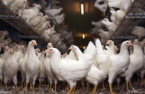 مرغ 3 ماهه ، فروش انواع مرغ تخم گذار - طیور