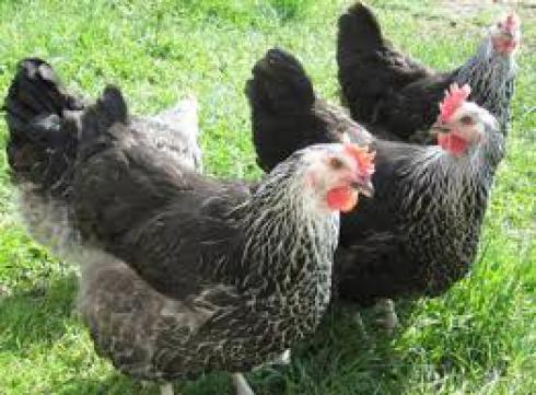 فروش نیمچه مرغ بلک استار و انواع مرغ بومی - طیور