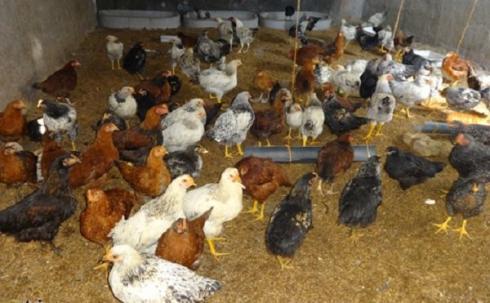 فروش مرغ تخمگذار جهادی