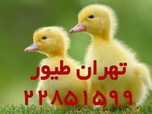 فروش جوجه اردک پکنی