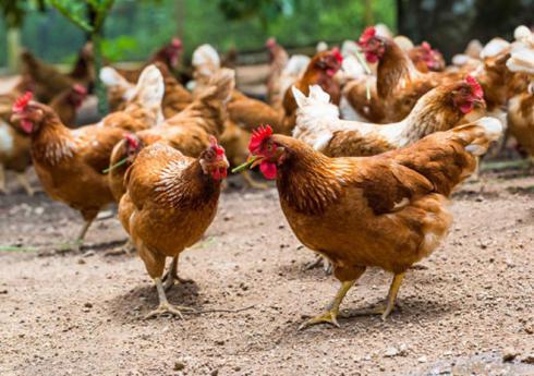 مرغ لوهمن تخمگذار مرغ لوهمن بالغ - طیور