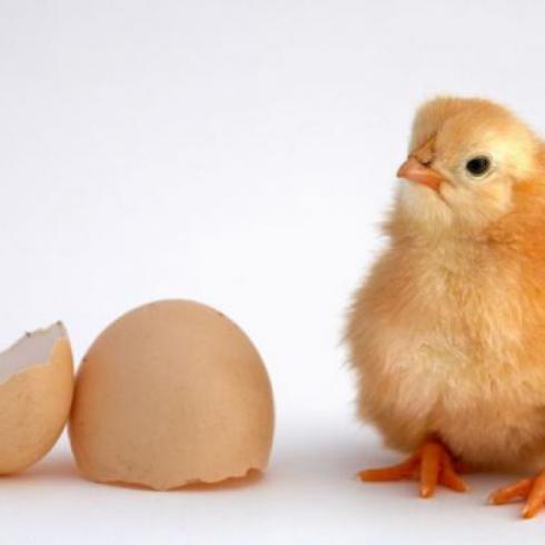 فروش جوجه مرغ 1روزه خالص گلپایگانی درجه یک - طیور