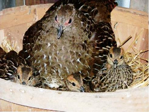 فروش بلدرچین تخمگذار و گوشتی - طیور