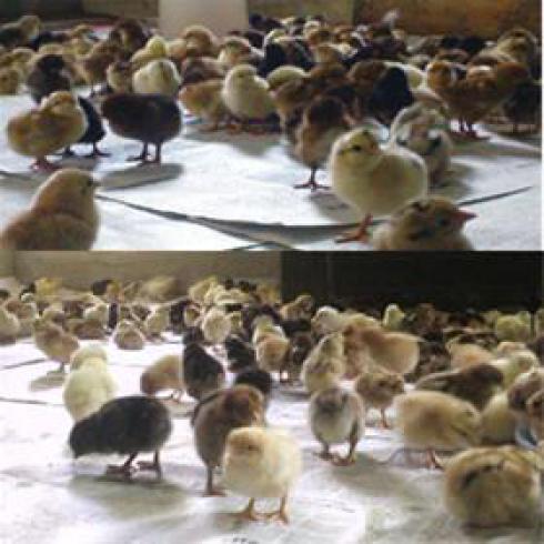 فروش جوجه یکروزه مرغ تخمگذار محلی - طیور