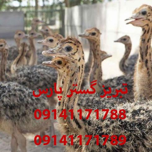 فروش جوجه شتر مرغ شرکت تبریز گستر پارس