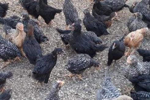 فروش مرغ بومی بلک استار و پلیموت 1 ماهه و یک روزه