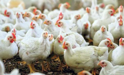 فروش مرغ تخم گذار ، فروش مرغ هایلاین