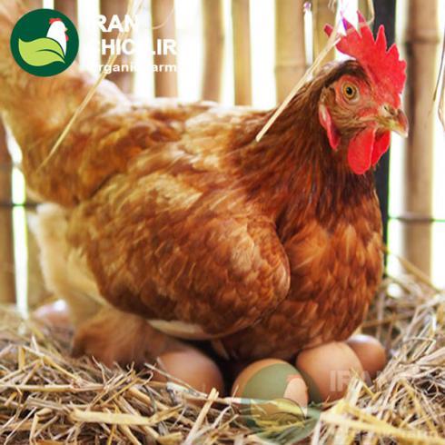 فروش مرغ تخم گذار رنگی قیمت مرغ جهادی - طیور