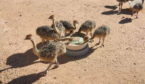 فروش شتر مرغ ده روزه ، یک ماهه ، دو ماهه و مولد - طیور