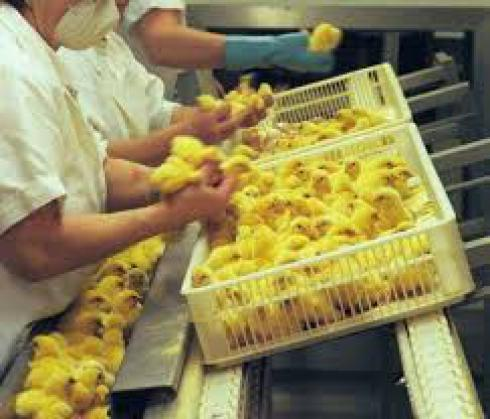 فروش جوجه مرغ گوشتی نژاد دار