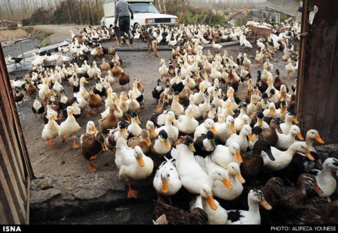 فروش جوجه اردک مسکویی ، جوجه اردک روسی - طیور