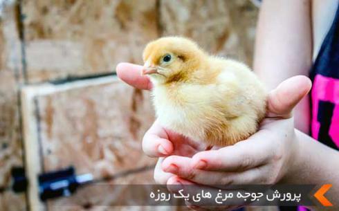 فروش جوجه مرغ یکروزه - طیور