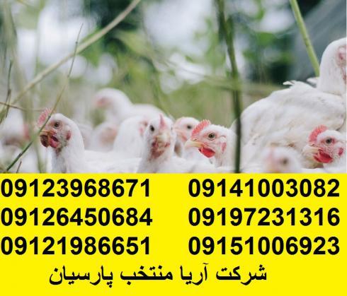 قیمت مرغ تخمگذار صنعتی سفید