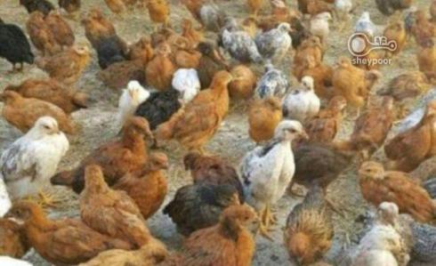 فروش جوجه مرغ بومی جوجه گلپایگانی و مرغ تخمگذار - طیور