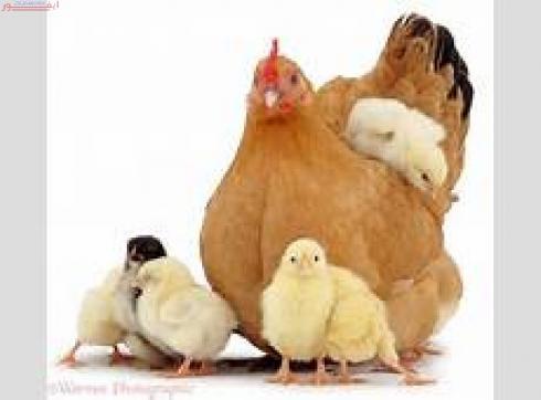 فروش نیمچه مرغ محلی 3 ماهه تخمگذار بومی , سه ماهه محلی , جوجه یکروزه بومی , جوجه خروس