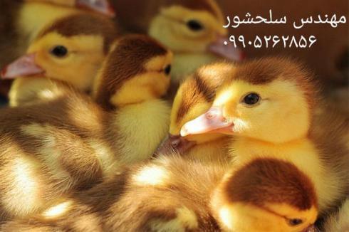 فروش جوجه اردک اسرائیلی ، فروش جوجه اردک مسکویی