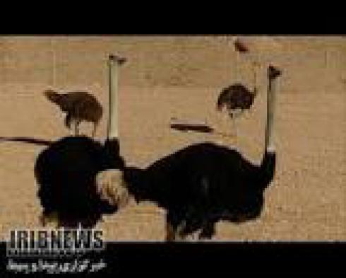 فروش ویژه شتر مرغ پرواری و جوجه شتر مرغ - طیور