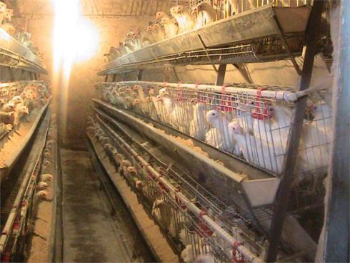 قیمت و فروش مرغ تخم گذار - طیور