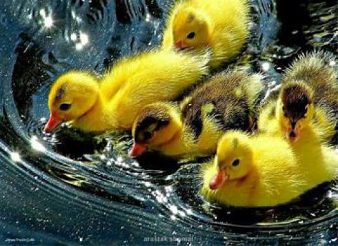 فروش ویژه جوجه اردک 1 روزه - طیور
