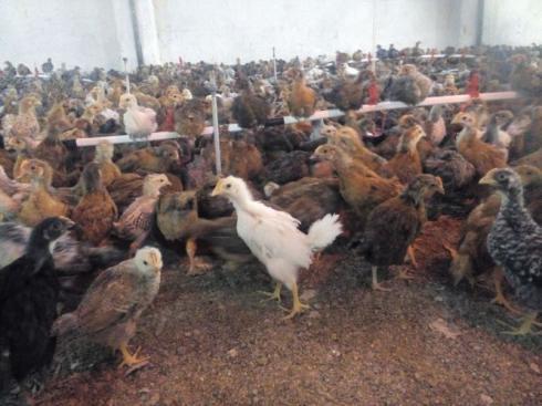 فروش مرغ 5 ماهه و 6 ماهه محلی گلپایگان اماده تخم - طیور