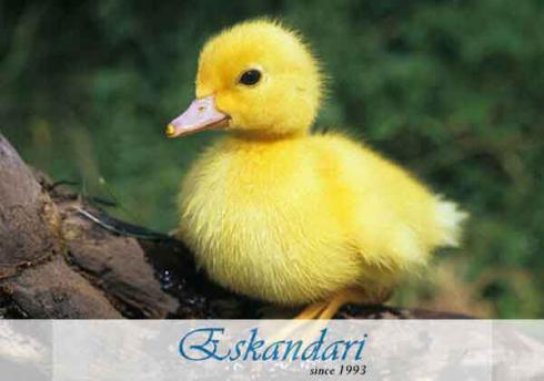 فروش جوجه اردک فروش جوجه یک روزه مرغ بومی