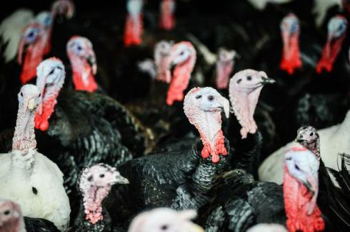 فروش جوجه بوقلمون جوجه اردک مرغ تخمگذار نیمچه تخمگذار