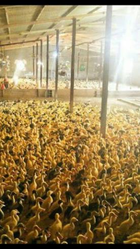 جوجه اردک 20 روزه