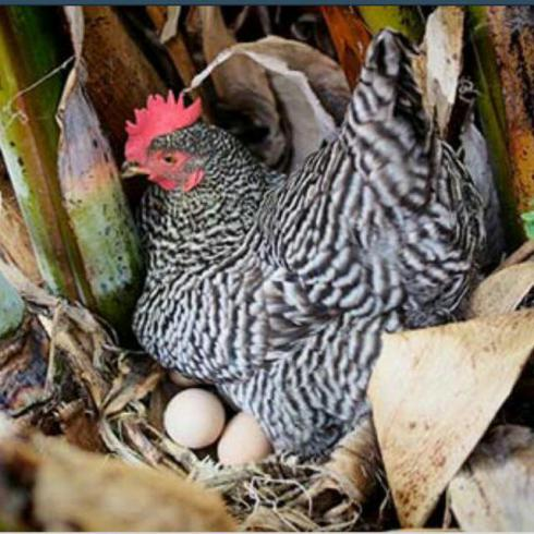 پرورش و فروش جوجه بومی و محلی تخم گذار - طیور