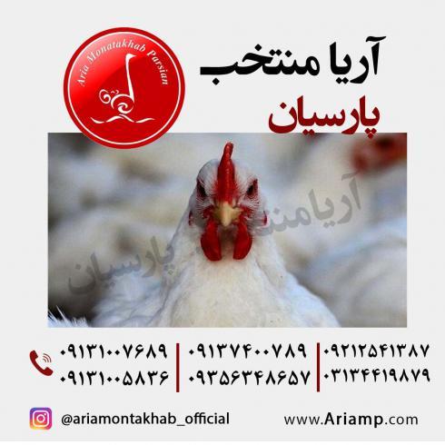 مرغ لگهورن صنعتی