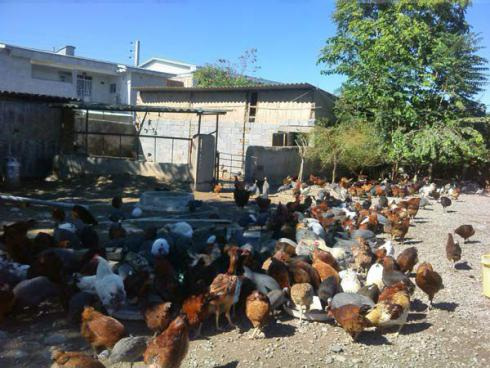 فروش عمده پولت مرغ تخم گذار - طیور
