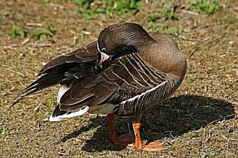فروش اردک صغیر 20 روزه - طیور