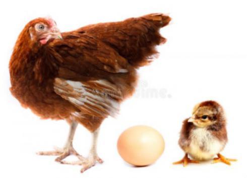 فروش استثنایی مرغ تخم گذار بومی - طیور - طیور
