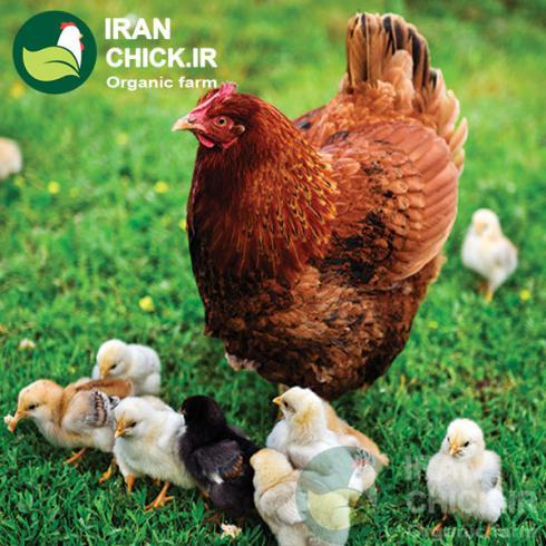فروش مرغ یک روزه و تخم گذار