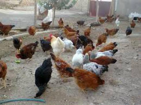 فروش جوجه مرغ گلپایگانی 100 در صد اصیل اصلاح شده