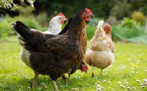 فروش مرغ بومی تخمگذار ، فروش جوجه مرغ بومی