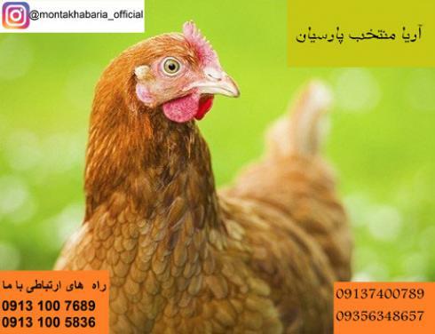 مرغ لوهمن تخمگذار(تخم مرغ رنگی)