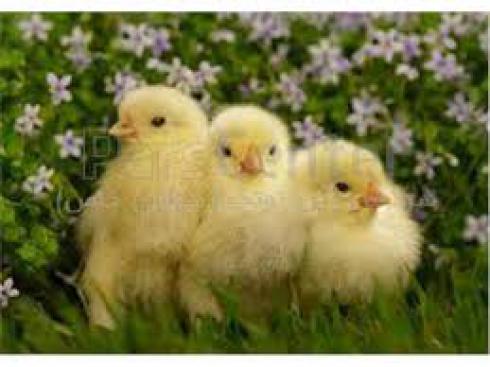 فروش جوجه مرغ گوشتی ، فروش جوجه یکروزه مرغ - طیور