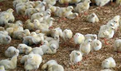 فروش جوجه یک روزه گوشتی انواع نژاد - استان تهران