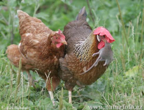 فروش  مرغ 5/5 ماهه پا به تخم - طیور