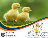فروش جوجه یکماهه اردک گوشتی سابین تجارت