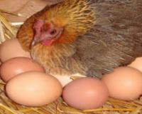 فروش مرغ تخمگذار بومی با درصد تخمگذاری بالا