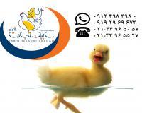 فروش جوجه یکروزه اردک گوشتی سابین تجارت