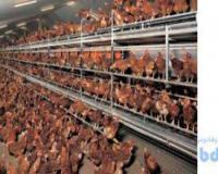 فروش مرغ بومی تخمگذار گلپایگانی و جوجه