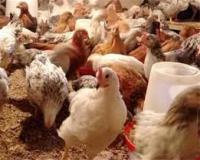 قیمت مرغ تخم گذار - سپیدطیوران- طیور