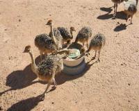 فروش جوجه شتر مرغ گردن ابی یک ماهه - طیور