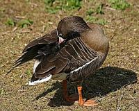 فروش جوجه یک روزه اردک پکنی و صغیر و نیمچه - طیور
